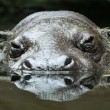Hippo eyes — Stock Photo