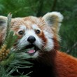 Stock Photo: Red panda