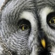 Foto de Stock  : Great gray owl