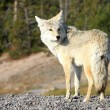 Yellowstone Wolf — Stock Photo #8614430