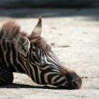 Grevys zebra — Stock Photo