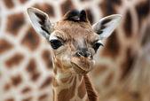 Jovem girafa — Fotografia Stock