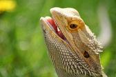 Dragão barbudo — Fotografia Stock