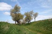 Cherry bomen — Stockfoto
