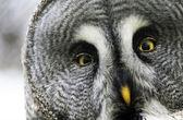 Great gray owl — Stock Photo