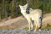 Yellowstone Wolf — Stock Photo
