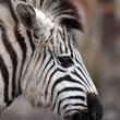 Stock Photo: Young zebra