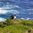 Stock Photo: Atlantic Puffin spreading wings