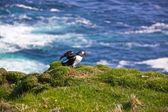 Atlantic Puffin spreading wings — Stock Photo
