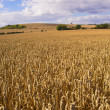 Wheat fields — Stock Photo #8911940