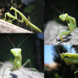 Stock Photo: Praying mantis, Mantis religiosa