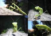 Praying mantis, Mantis religiosa — Stock Photo