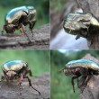 Stock Photo: Rose Chafer, Cetoniaurata