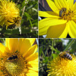 Bee, Apis mellifera pollinated a flower — Stock Photo