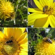 Stock Photo: Bee, Apis melliferpollinated flower