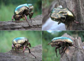 Rose Chafer, Cetonia aurata — Stock Photo