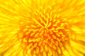 Yellow dandelion close up — Stock fotografie