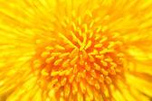 Yellow dandelion close up — Stock Photo
