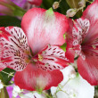 Flowers alstroemeria — Stock Photo