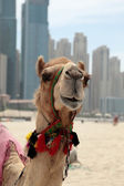 Head of camel — Stock Photo