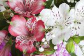 Alstroemeria flores — Foto de Stock