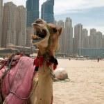 Camel. — Stock Photo #8600362