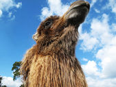 Camel Looking Up on a sunny day — Stock Photo