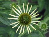 Flower green / white — Stock Photo