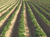 Potato field — ストック写真