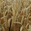 Stock Photo: Wheat risps