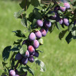 Ripe plums — Stock Photo #8621456