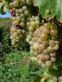 Grapes — ストック写真