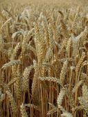 пшеницы risps — Стоковое фото