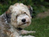 Tibetan Terrier — Stock Photo