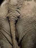 Elephant backside — Stockfoto