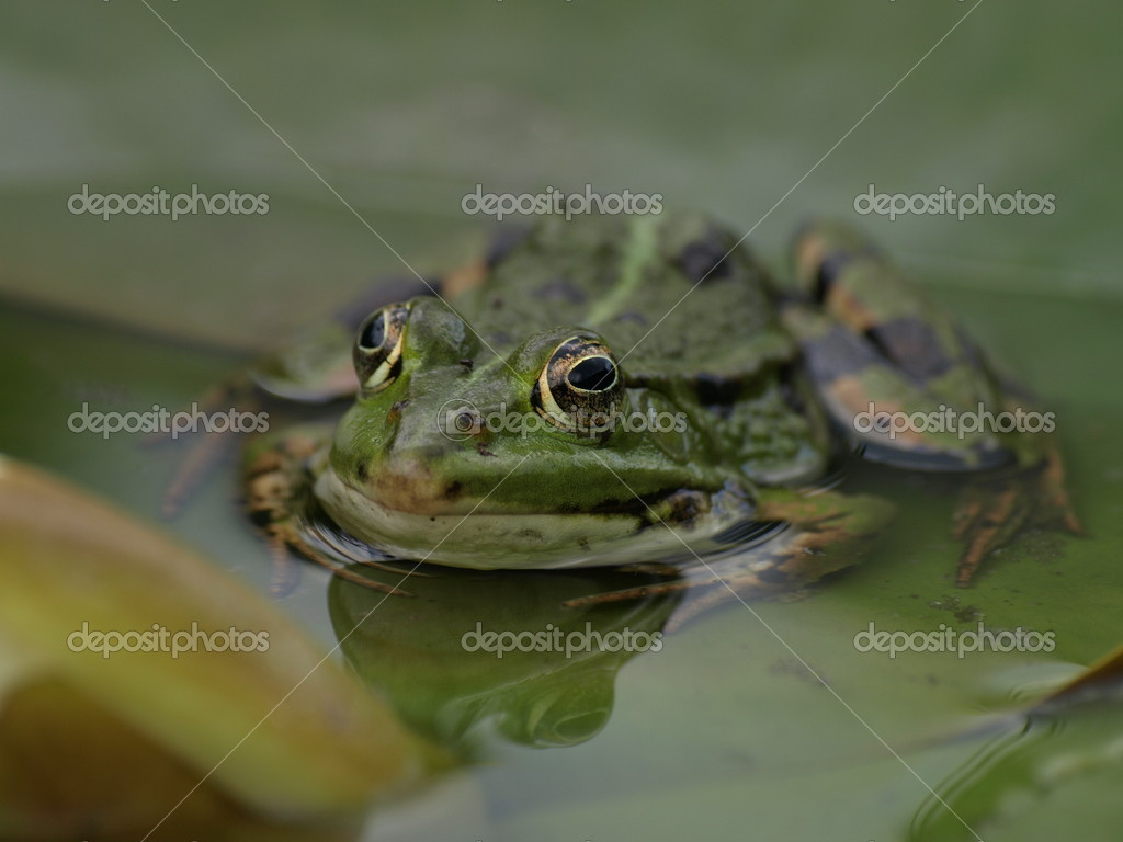 Frog waiting on an insect to catch — Stock Photo #8848305