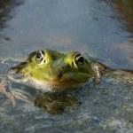 Frog portrait — Stock Photo