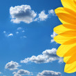 Bright petals of a sunflower against the blue sky — Stock Photo