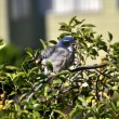 Ruffled Baby Blue Jay — Stock Photo