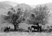 Mountain Horses — Stock Photo
