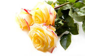 Beautiful yellow roses on a white background — Stock Photo