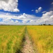 The country road with golden paddy and white cloud — Stock Photo