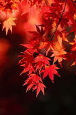 Beautiful maple — Stock Photo