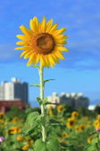 Beautiful sun flower under blue sky — Stock Photo