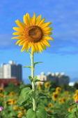 Beautiful sun flower under blue sky — Stock Photo