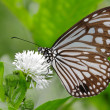 Foto Stock: Beautiful butterfly with white flower