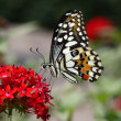 Beautiful flying butterfly (Monarch) on red flower — Stock Photo