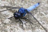 Blue dragonfly — Stock Photo