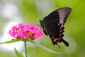 Colorful flying butterfly with pink flower — Foto de Stock