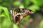 Green spot butterfly on green leaf — Stock Photo